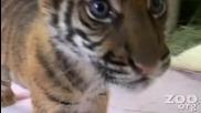 Малко сладко тигърче