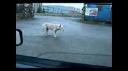 куче танцува яко от house