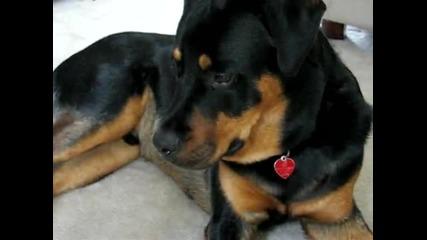 Beagle Puppy Attacks Rottweiler