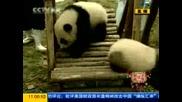 Малки панди посрещнаха китайската Нова година