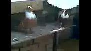 Чирпански Гълъби На Гошо От Любимец