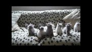 Смях 10 котета се движат в синхрон
