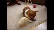 Куче и пате си разделят храна-смях