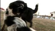 Каракачански кучета Рекс и Ахил