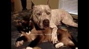 Питбул и коте