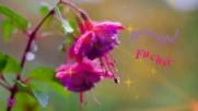 Даровете на природата - фуксията - нежната камбанка в дома ни! ...