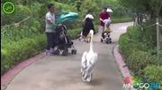 Пеликан се разхожда като кмет на село