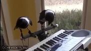 Гарги свирят на пиано