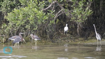 Wildlife Service Baffled by Exodus of Birds From Florida Isle