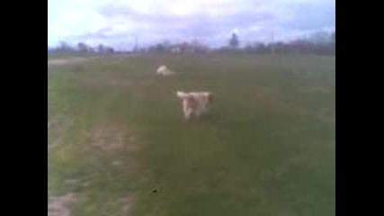 каракачанско куче