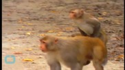 Monkeys Break Free in Great Escape From Research Facility in Puerto Rico
