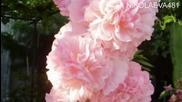 мечти в розово -релакс