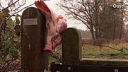 Гонят мигранти със свински глави в Холандия. Предупреждение на президента Милош Земан - Чехия