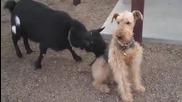 Козел дразни куче със железни нерви, което го игнорира постоянно!
