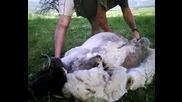 Стригане На Овце