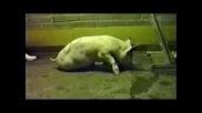 Хуманна и безболезнена смърт за животните, вместо заколение