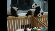 Бебета панди се боричкат
