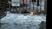 Битка:опосум срещу котка