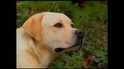 Labrador Retriever - Royal Canin