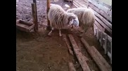 Овчи бой