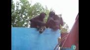 Маймуни НАПАДНАХА Екипа На SURVIVOR И ОТКРАДНАХА ОЧИЛА СМЯХ