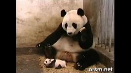 Mnogo smeshna i izplashena panda :d