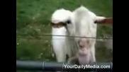 Козите Харесват Електрическите Огради