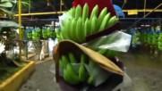 Съвремена Ферма За Банани