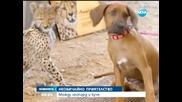 Гепард и домашно куче – неразделни приятели