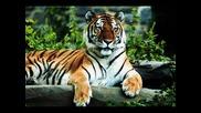 O oo Tigre Tigre .ima6 li pari