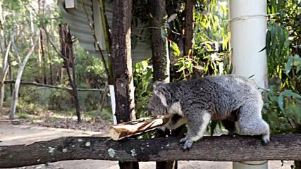 Heartwarming moment koalas return home after devastating Australian bushfires