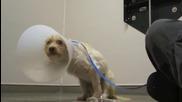 Полагане на грижи върху куче със счупен гръбнак!