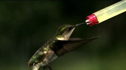 Колибри пие вода (забавен кадър)