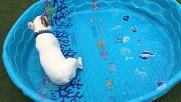 Този френси булдог е толкова ентосиазиран да плува, че няма нужда от вода!
