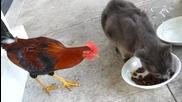 Петел краде от храната на котката