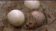 Излюпването на яйцата при Двуноктестата костенурка..