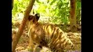 Маймунка Срещу Тигър