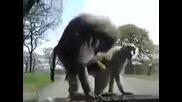 Така го правят маймуните, ... директно на капака на колата!