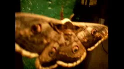 Красива И Голяма Пеперуда В Средец
