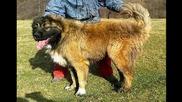виликите овчарски кучета