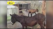 Смешни животни компилация - Луди Кози