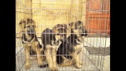 Развъдник за Немско овчарско куче продава 3 мъжки кученца на 3 месеца внуци на Quenn vom L