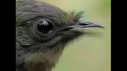 Птица Имитира Всякакви Гласове !!! Невероятно !!!