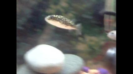 Моята рибка Балон
