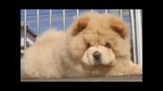'' чау чау ''- кученца