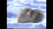 Как лисиците ловът мишки
