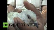 В Индия арестуваха гълъб по подозрение, че бил пакистански шпионин