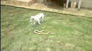 Куче срещу кобра