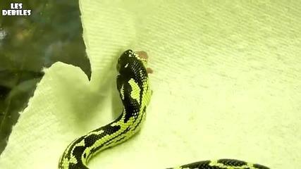 Двуглава Змия Се Храни