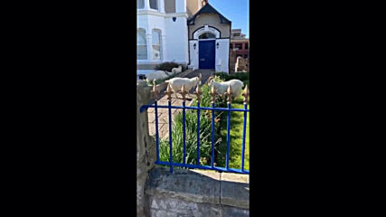 Herd immunity! Wild goats marauder around Welsh town amid Covid-19 lockdown